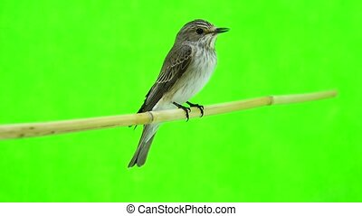 Spotted Flycatcher (Muscicapa striata) isolated on a green...