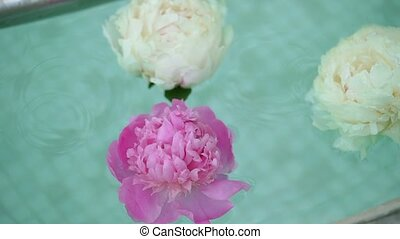 Pink and white peonies in water