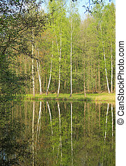 birches at the lake - birches and some other trees growing...