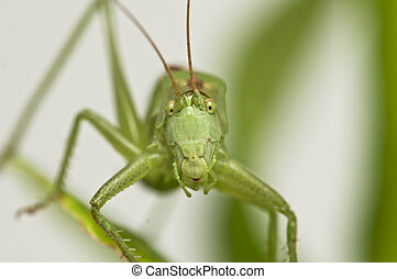 Grasshopper standing on a leaf watching
