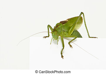 Grasshopper sitting on a blank space watching