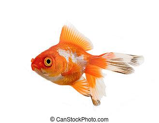 Oranda goldfish over white background