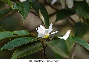 White magnolia flower bud. Nature background