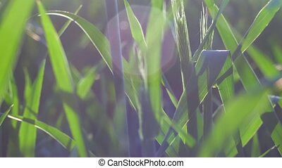 Wheat stem moving by the wind in warm spring evening sun light flares. Shallow depth of field close up