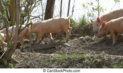 Young pigs on the farm