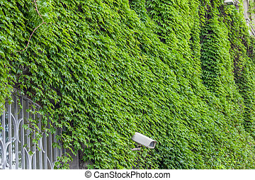 Clambering plant on the exterior wall of house.