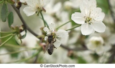 Bees fly to Blossoming Tree, slow motion - White flowers of...