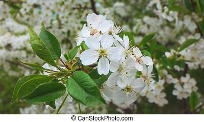 Spring flowering of trees in the park, slow motion -...
