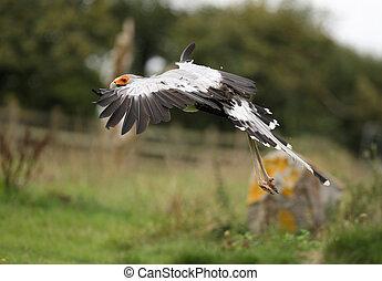 Secretary Bird - A Secretary bird in flight
