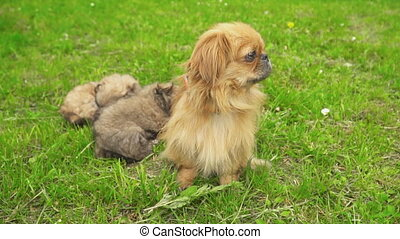 Pekingese puppies are sleeping together