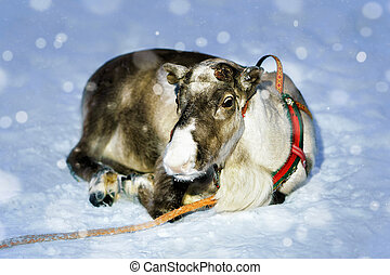 Reindeer without horns farm in winter Finnish Lapland