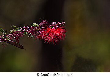 Airy puff of fairy duster blossom in Sonoran Desert - Fairy...