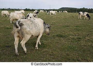 動物, 母牛