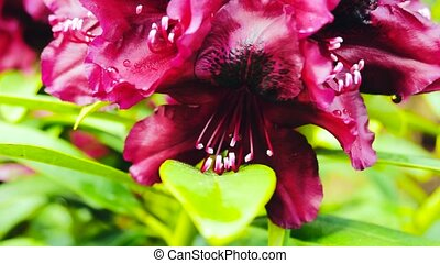 Close up of bright pink Rhododendron blossoms in bloom on...