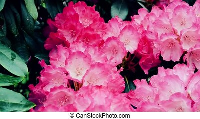 Beautiful pink rhododendron. The camera moves back on the...