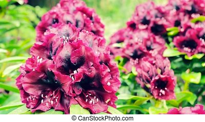 Dark purple rhododendron. The camera moves back on the...