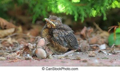 Young baby bird sitting on the ground - Blackbird fledgling...