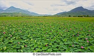 Wide Lotus Field against Mountains - drone flies over green...