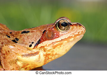 common frog profile view - common european frog profile view...