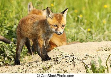 cute red fox puppy near the burrow - cute european red fox...