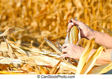 harvesting a corn - peasant is harvesting a corncobs, manual...