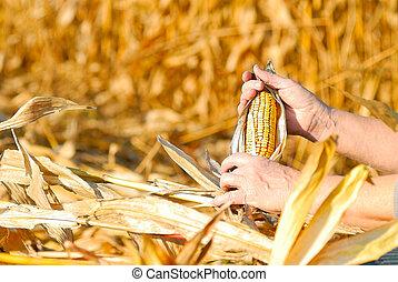 Cosechar, maíz