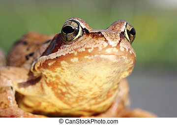 macro portrait of common frog