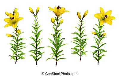 Yellow lilies with green stem and leaves. Set of realistic flowers. Colorful floral vector illustration.