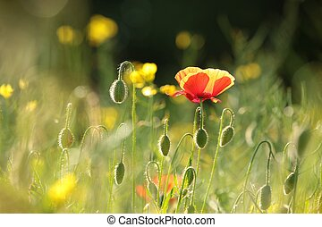 Poppy in the field at dawn.