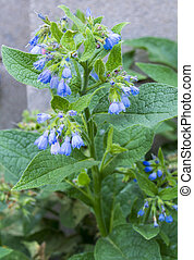 Comfrey. Comfrey (Symphytum officinale). flowers of a used...