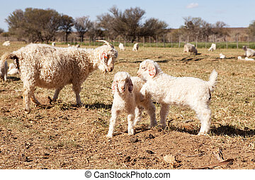 Baby and adult goats in farm meadow - Baby and adult goats...