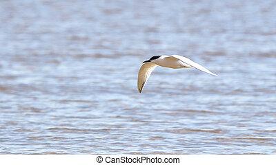 Caspian tern gliding over the Gulf of Mexico - One Caspian...