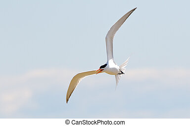 Caspian tern flying over the Gulf of Mexico - One Caspian...