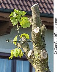 Brotar, árbol