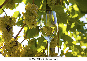 wine glass in the vineyard - wine glass with wine in the...
