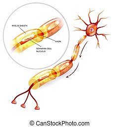 Neuron myelin sheath - Neuron, nerve cell axon and myelin...