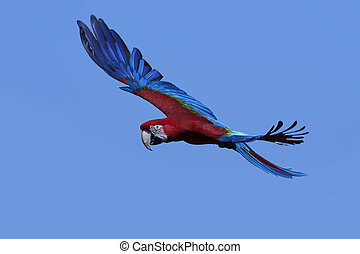 Green-winged macaw (Ara chloropterus) - Green-winged macaw...