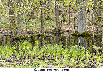 forest with swamp - swamp scenery in a forest at early...