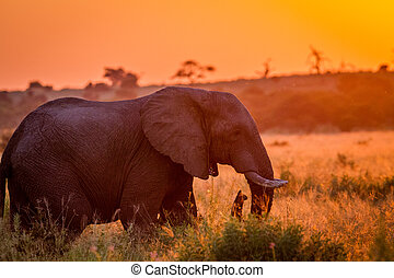 Elephant at sun down in the high grass. - Elephant in the...