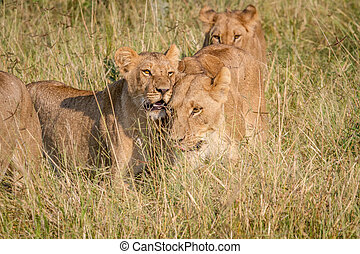 Two Lions bonding in the high grass. - Two Lions bonding in...