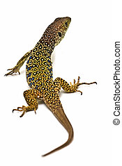 Lizard 26. - Ocellated lizard isolated on a white backgroud.