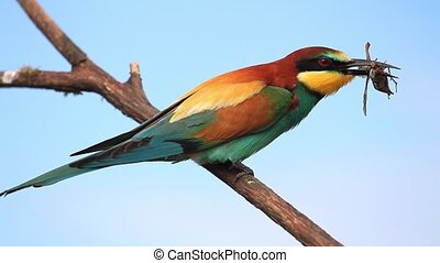 bee-eater eats May beetle sitting on a branch,wildlife, wild...