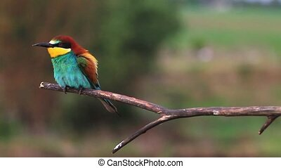 European bee-eater sitting on a dry branch,wildlife, wild...