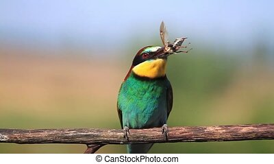 exotic colored bird juggles beetle,wildlife, wild animals