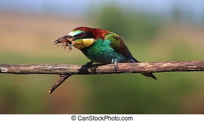 colored exotic bird eating May beetle,wildlife, wild animals