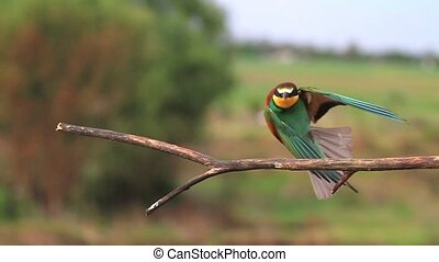 European bee-eater flies and sits on a branch to...