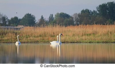 three different swans floating on the lake,wildlife, wild...