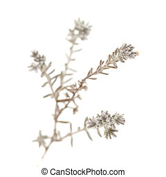 flora of Gran Canaria - Micromeria, small twigs isolated on...