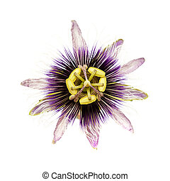 purple and white passionflower isolated - purple and white...