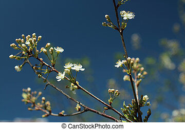 White flowers blossom cherry tree against background of blue...